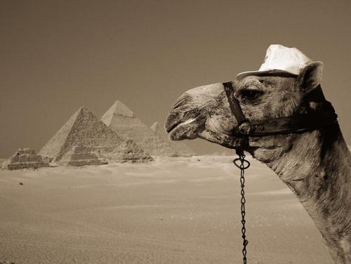 Camellos en Egipto