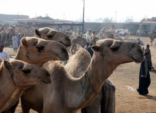 Mercado de camellos en Birqash