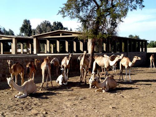 Mercado de camellos de Daraw