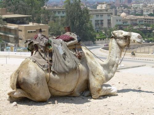 Los clásicos animales que habitan Egipto